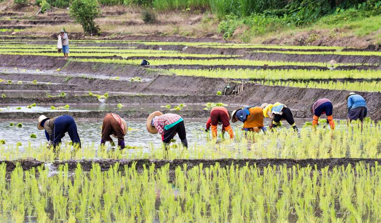 Thai farmers planting rice. Photo: iStockphoto